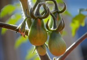 pear-tom--5-17-15