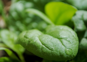 spinach--5-17-15